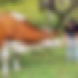 Jinny Ribič: Napad kričanja zaradi ene kravice …