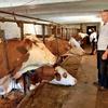 Krave niso bile najbolj razpoložene za slikanje, bliskavice so se kar prestrašile.