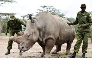Žalostno! Zadnjega samca severnega belega nosoroga varuje vojska!