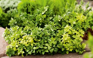 Rastline, ki uspešno zatirajo plevel!