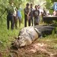 Na Šrilanki iz kanala rešili 5-metrskega krokodila