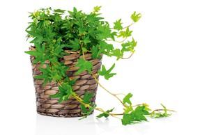 Sobne rastline, ki dobro shajajo tudi z malo svetlobe!