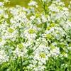 Drugo leto po sajenju se poleti  pojavijo beli cvetni lati.
