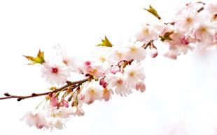 Zimska češnja pričara nepričakovano cvetno razkošje
