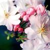 Cvetovi zimske češnje (Prunus subhirtella Autumnalis) učinkujejo kot velike snežinke.