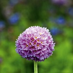 Okrogli jeglič (Primula denticulata) spomladi očara s čudovitimi cvetnimi žogami.  (foto: Profimedia)