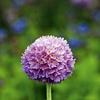 Okrogli jeglič (Primula denticulata) spomladi očara s čudovitimi cvetnimi žogami.