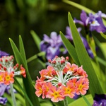 Nadstropni jeglič (Primula x bullesiana) je primeren za zasaditev svežih do vlažnih vrtnih območij. (foto: Profimedia)