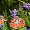 Nadstropni jeglič (Primula x bullesiana) je primeren za zasaditev svežih do vlažnih vrtnih območij.