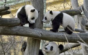 Francija: Panda skotila dvojčka, a eden kmalu poginil