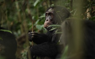 Premiera Vzpona bojevniških opic na Discovery Channelu!
