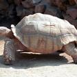 Želva, ki je pogoltnila 915 kovancev, kljub operaciji poginila