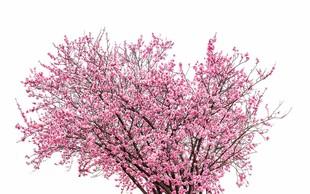 Simbolika češnje - drevesa nesmrtnosti