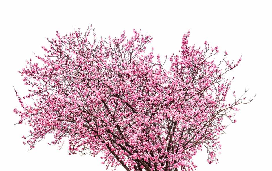 Simbolika češnje - drevesa nesmrtnosti (foto: Shutterstock)