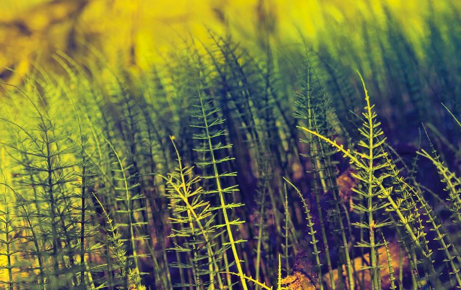 Njivska preslica: Uči nas odgovornosti (foto: Shutterstock)