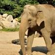 V ljubljanskem živalskem vrtu praznujejo svetovni dan slonov