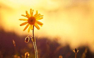 Arnika - cvetlica, ki prinaša mir in ravnovesje