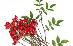 Šipek - Venerina rastlina z močno žensko esenco