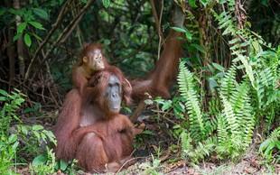 Potrdili obstoj nove vrste človeku podobnih opic, ki pa že izumira!