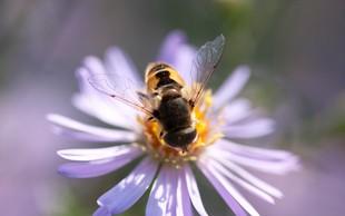 Rastline slišijo brenčanje čebel, cvetovi zato dajejo bolj sladek nektar, pravijo znanstveniki