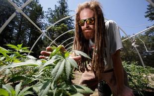 V Kaliforniji legalno tudi uživanje marihuane za lastno uporabo