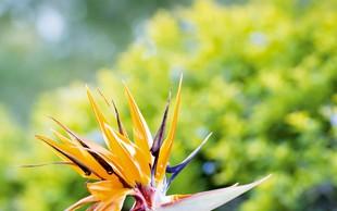 Strelicija - eksotična rastlina in vzdržljiva trajnica