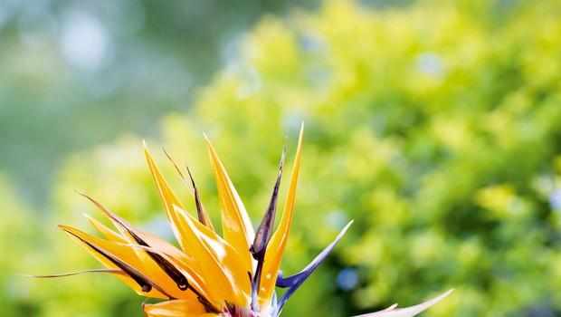 Strelicija - eksotična rastlina in vzdržljiva trajnica (foto: Shutterstock)