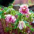 Telohi - barviti  znanilci pomladi