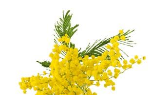 Srebrna akacija (mimoza) velja za znanilko sprememb