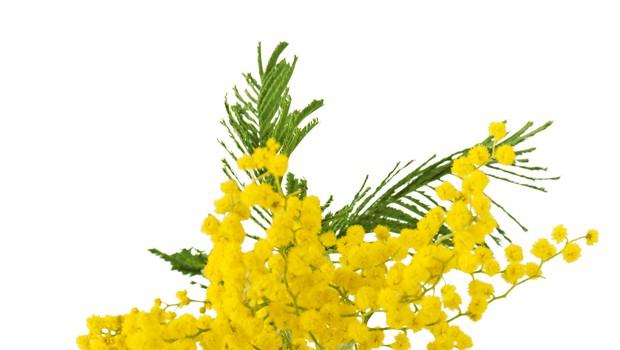 Srebrna akacija (mimoza) velja za znanilko sprememb (foto: Shutterstock)