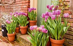 Prihaja sezona tulipanov - kako z njimi ravnati na domačem vrtu? Preverite!