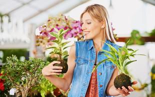 Kokedama: Priljubljen rastlinski okras na Japonskem