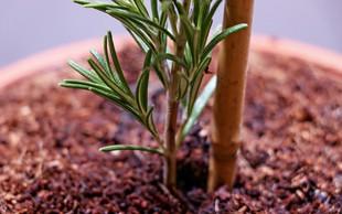 Uspešno razmnoževanje rastlin s pomočjo potaknjencev