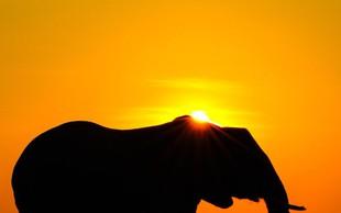 Malo bližje prepovedi izvažanja divjih slonov v živalske vrtove