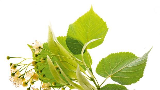 Simbolika lipe: Naše sveto drevo (foto: Shutterstock)