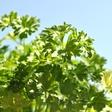 Poletna zeliščna apotekarna: Melisa in peteršilj