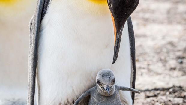 Homoseksualni pingvinji par v berlinskem živalskem vrtu vali jajce (foto: Shutterstock)
