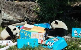 V dunajskem živalskem vrtu si je panda Yang Yang omislila nov hobi