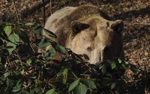 Francoski župani zahtevajo odstranitev medvedov s Pirenejev