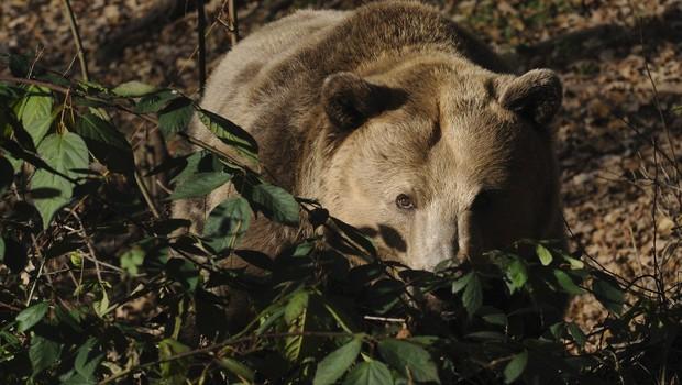 Podkraj: Medvedka je napadla lovca, pregnal jo je s kričanjem (foto: Profimedia)