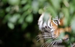 Uspešna zaščita prostoživečih tigrov v Nepalu