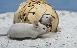Kitajski znanstveniki pomagali miškam istega spola do mladičev