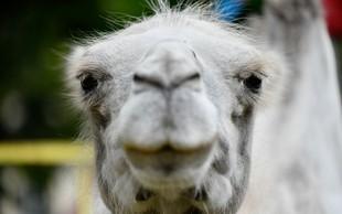 Na jugu Nemčije je neprivezana cirkuška kamela povzročila zmedo na cesti