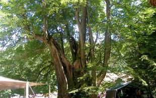 V ujmi poškodovano najdebelejše drevo v državi - Najevska lipa