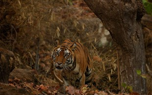 Tigrico Avni, ki naj bi pobila več kot 10 ljudi, so pokončali v obsežni lovski akciji