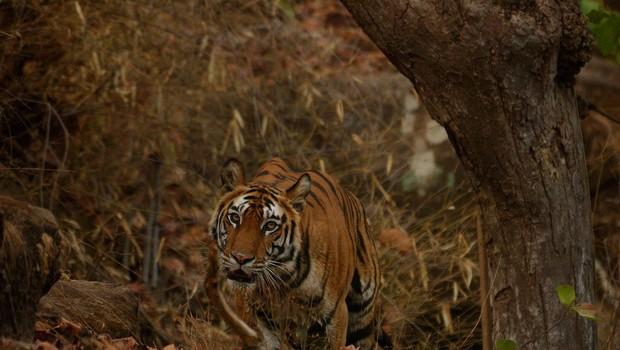 Tigrico Avni, ki naj bi pobila več kot 10 ljudi, so pokončali v obsežni lovski akciji (foto: profimedia)