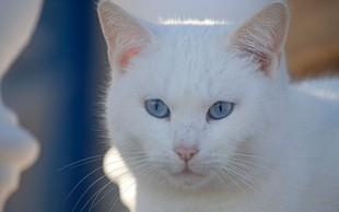 Simbolni pomen bele mačke: Znak blaginje in sreče!