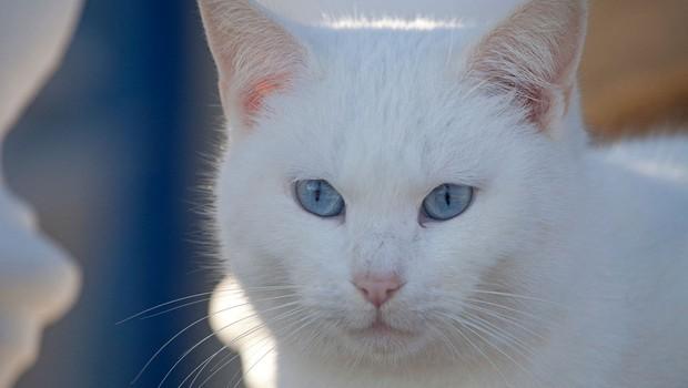 Simbolni pomen bele mačke: Znak blaginje in sreče! (foto: profimedia)