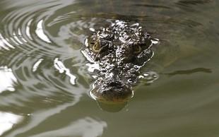 Florida: Moški vdrl na krokodiljo farmo in zaplaval s krokodili!