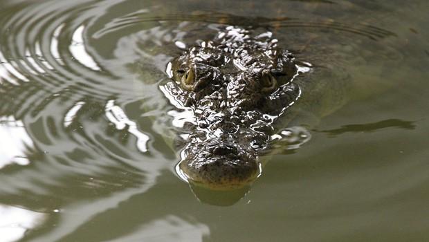 Florida: Moški vdrl na krokodiljo farmo in zaplaval s krokodili! (foto: profimedia)